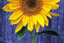 Słoneczniki <3