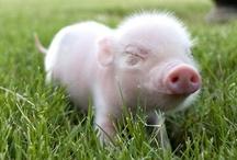 piggy piglet