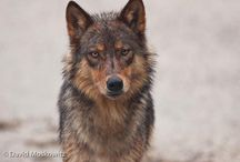 Nature Night: Wolves in the Land of Salmon