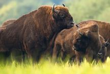 Nature Photography Bison