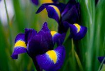 Ирисы, Люпины / очаровательные цветы