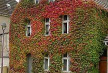 Villvin - Parthenocissus / Åh! Det finnes så mange fine villviner. Vanskelig å velge...