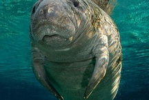 Manatees / Manatee photos