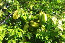 fruit health care Carambola benefits