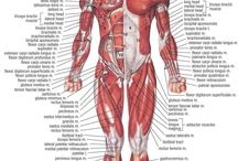 Anatomy - Musculature
