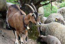 Véritables cloches pour chèvre
