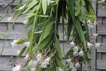 Cactus, epiphyllum, rhipsalis and more