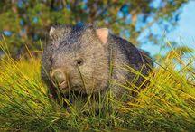 Wombat Wednesday / Every Wednesday is Wombat Wednesday