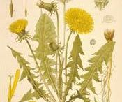 Dandelion Apothecary / The Healers of the Earth / by Lee Anne Hall