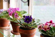 African Violets / African violets
