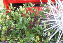 Aronia/Chokeberry harvest / Harvest aronia fruits