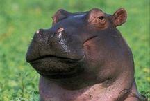 Hippopos