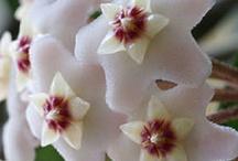 Hoya carnosa / mum çiçeği