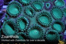 Zoanthids / Working in Aquaculture for nearly a decade I was importing colonies from all over the South Pacific Region. This is a collection of photos from the most impressive Zoanthid colonies I propagated during that time. Check out my website www.thesea.org for more on coral reef's... blane perun  If you have time please venture to my site and learn more about the coral reef.