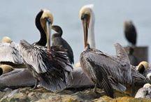 Birds of Sea Ranch / Birds found in Sea Ranch and neighboring areas