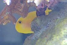 Gelbe Korallengrundel/Gobidion okinawae
