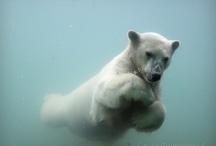 Arctic: Polar Bear underwater