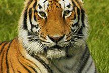 bangladeş tiger