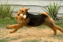 Airedales / by Michelle Ratliff-Ziskind