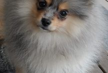 My love pomeranian