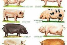 A pluralidade de animais