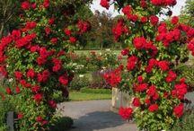 rose- pnace