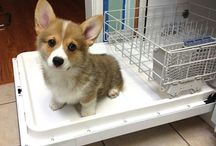 My Corgi Addiction / I love dogs, especially Welsh Pembroke Corgis. They have a great disposition, and they are easy to train. They love being part of a family and are great around small children. If I had a farm I would raise Corgis!