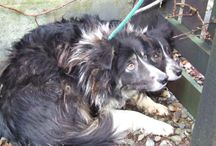 Mo and Jan / We were asked to rehome two collies as they failed as working dogs on a farm. This is their story :)  Please check the website to see more!  http://argyllanimalaid.org.uk/mo-and-jan-a-telling-tail/