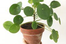 plantenkoorts
