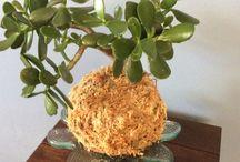 Kokedama Plant balls I make / Kokedama