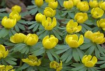 Garden Bulbs / Favorite bulbs, tubers, etc., for flowers and foliage, plus growing tips. / by Horticulture Magazine