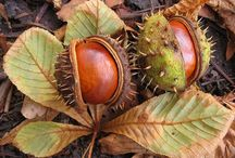 Chestnuts / by Trees Group