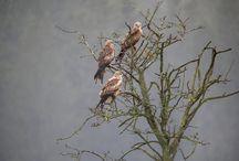 Greifvögel | LigaVogelschutz