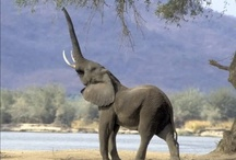 Trunks Up for Good Luck / Thanks to my Grandma I have her Love of Elephants. / by Kris White Ochs