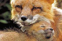 rókák,fox