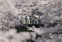 Cherry Blossoms - Sakura