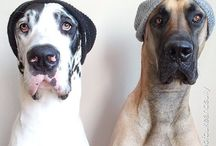 Animals do humour best - Great Danes