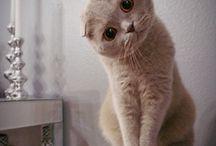 Scottish fold cats/kittens