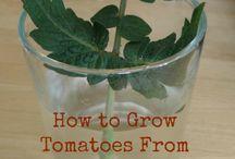 plantor- Tomat
