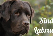 Sindia Labradors