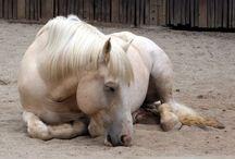 Horses - Nap Time