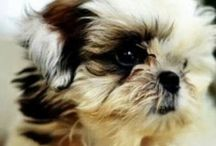 Shih tzu dogs and other animals. / about dogs.