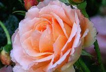 peach rose theme