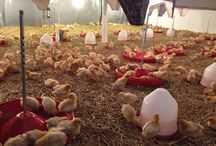 Free range chickens / The life of our free range chickens