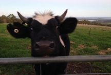 Cows (steers) / Our Cows ( steers) are just delightful