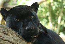 Black Panther [power animal]