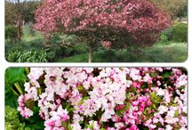 Captivating Crabapples / Crabapples or Flowering Crabapples are small deciduous trees that have 3 seasons of enchanting interest. They are covered with bursts of blooms in spring, followed by bright foliage in summer and then colourful fruit in fall.