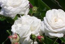 My Garden Roses