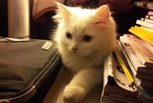 Sármos / My Turkish angora cat