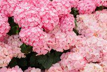 Flower Time - Hydrangeas!